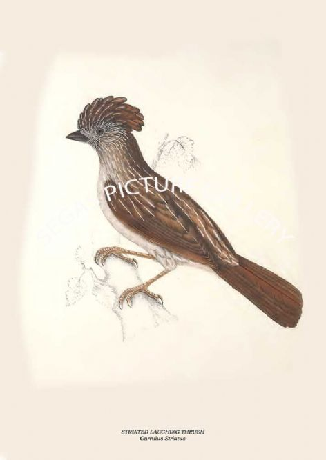 Fine art print of the STRIATED LAUGHING THRUSH - Garrulus Striatus by John Gould (1831) reproduced by Segas Picture Gallery.